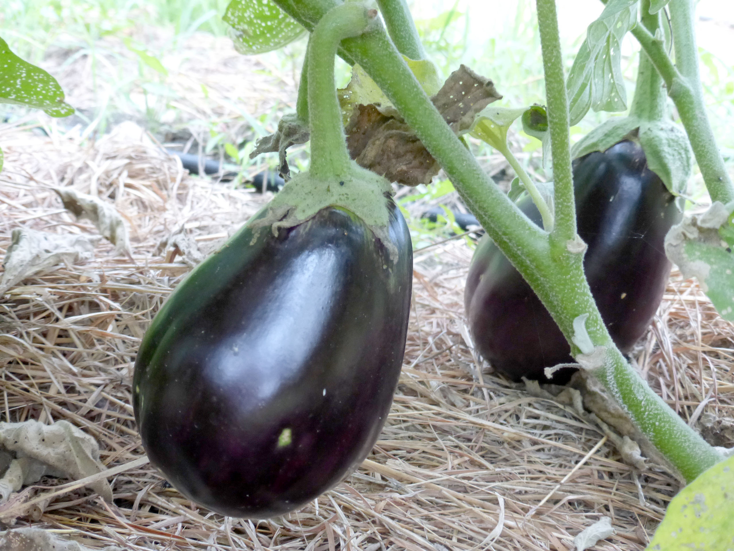 Melanated Beauty Eggplant