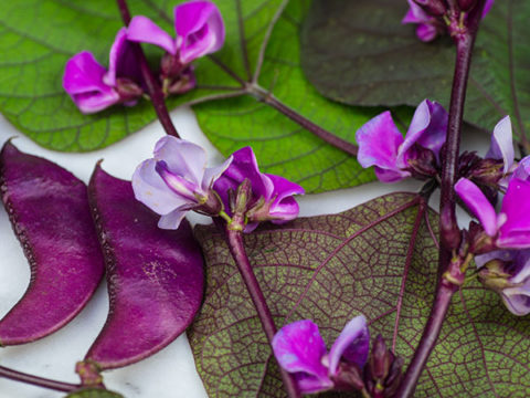 Red Leafed Hyacinth Bean